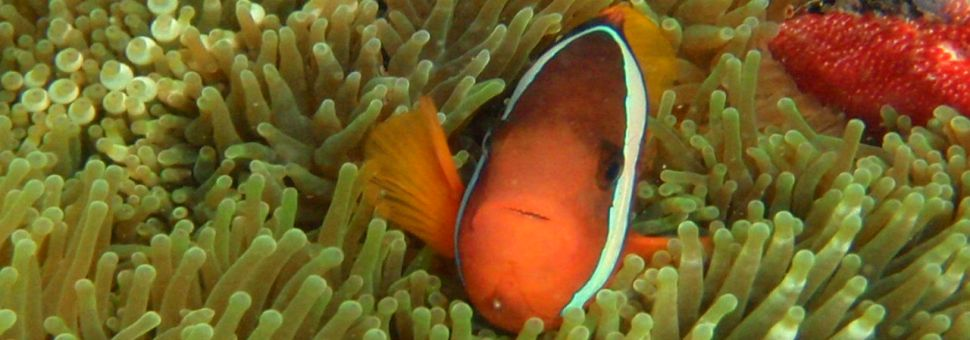 Clown fish amongst coral while snorkeling