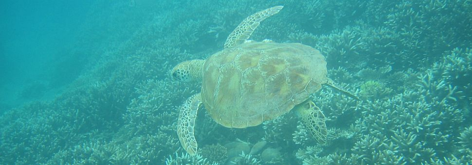 Turtle in Keppel Bay