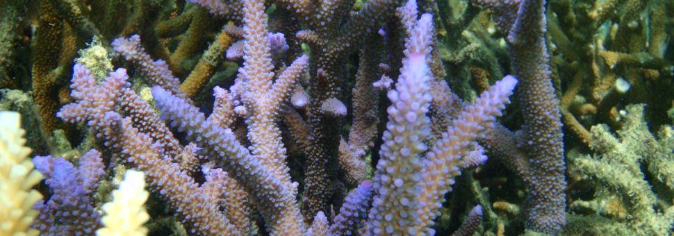 Purple coral around GKI